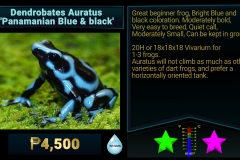 Dendrobates auratus Panamanian Bue and Black