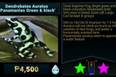 Dendrobates auratus Panamanian Green and Black