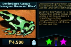 Dendrobates auratusNicaraguan Green and Black