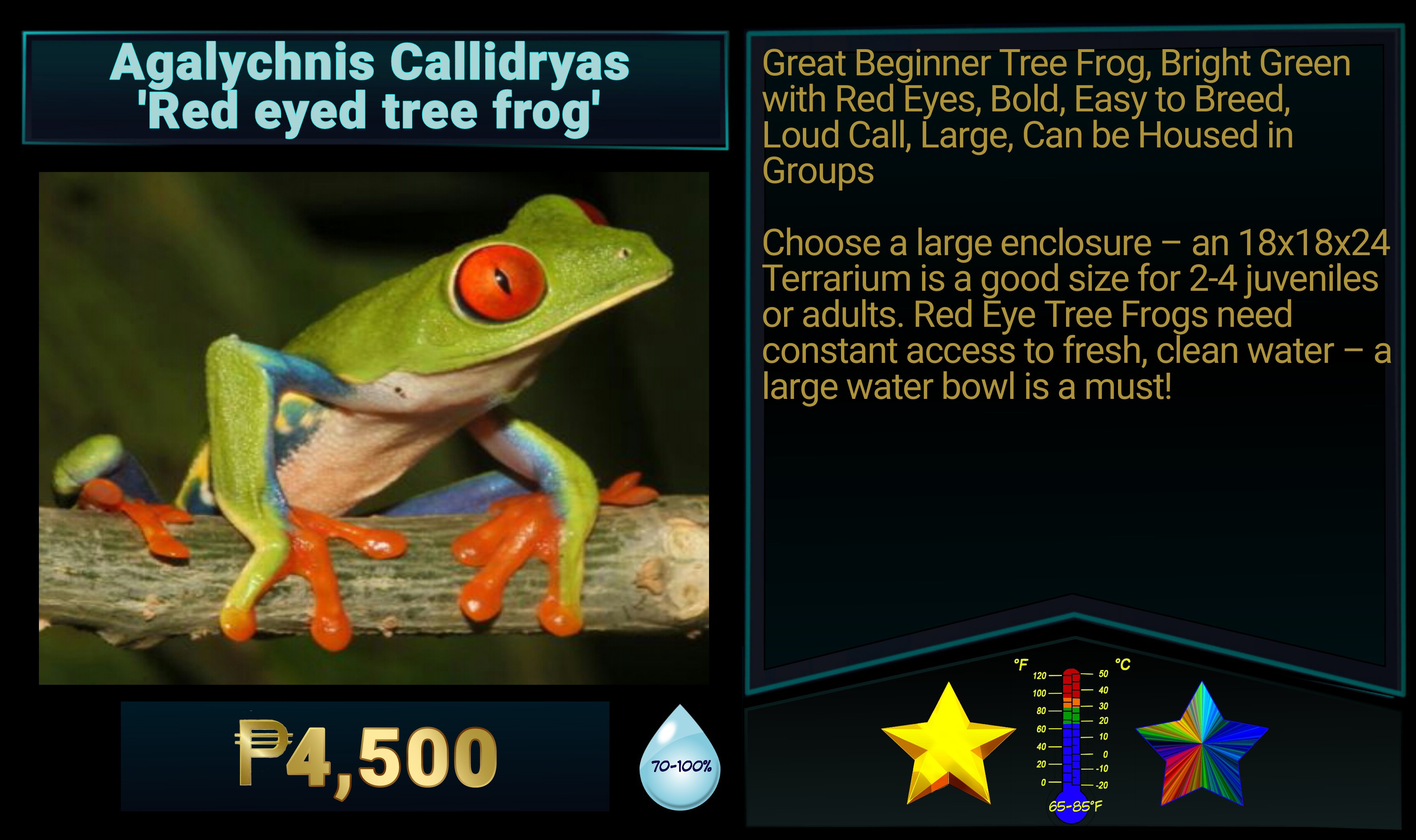 Agalychnis callidryas Red Eyed Tree Frog