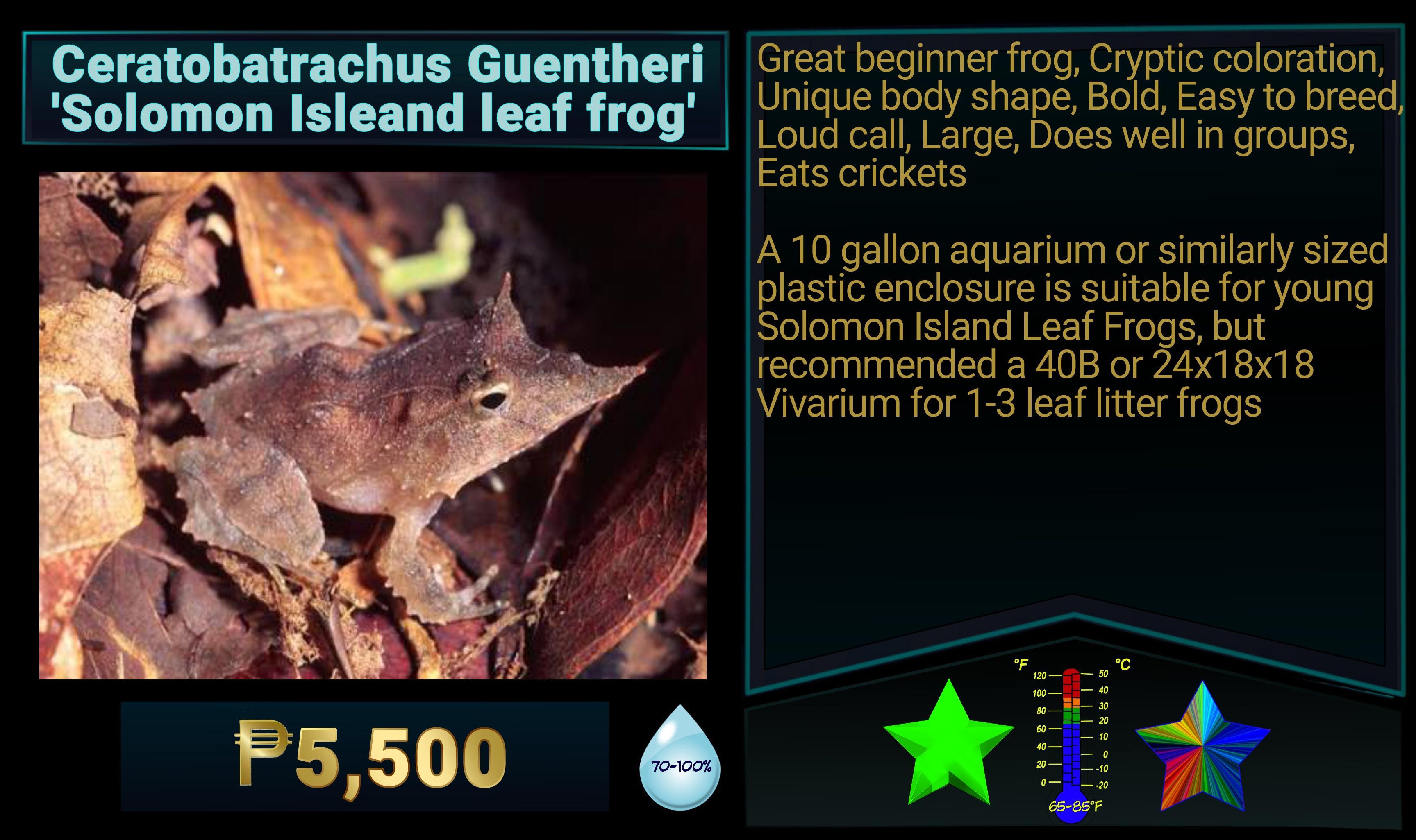 Ceratobatrachus guentheri SolomonIsland Leaf Frog