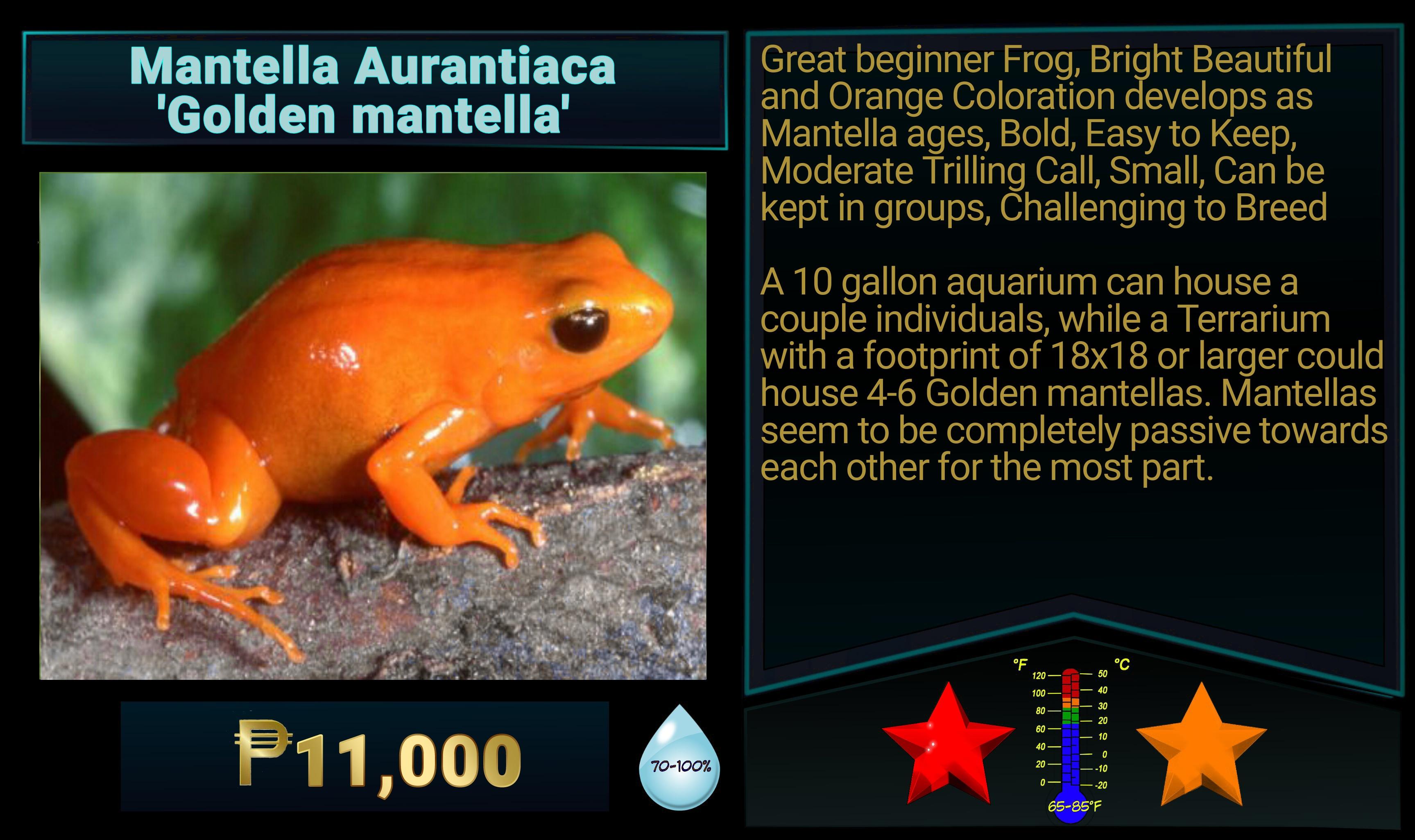 Mantella aurantiaca Golden Mantella