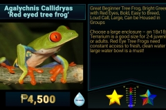 Agalychnis callidryas Red Eyed Tree Frog