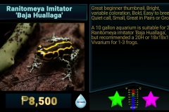 Ranitomeya imitator Baha Huallaga