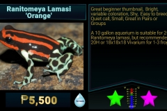 Ranitomeya lamasi Orange